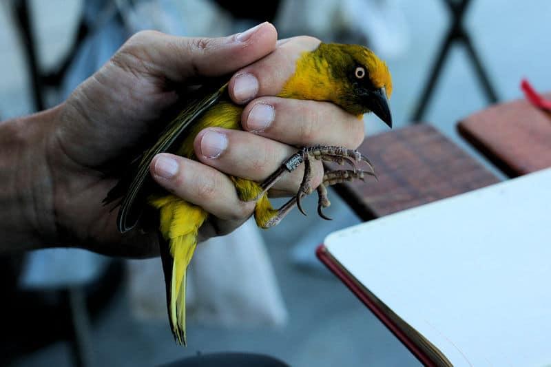 Wild bird ringing at Fynbos Estate in the Western Cape